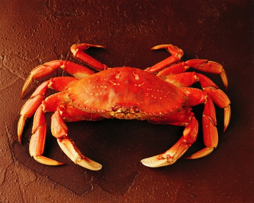 raw-dungeness-crab